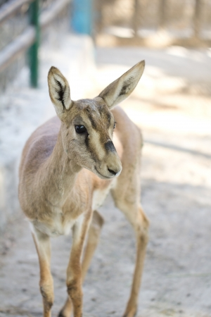 deer in zoo photo