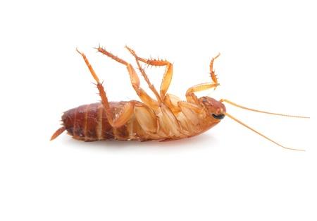таракан на белом фоне. макрос