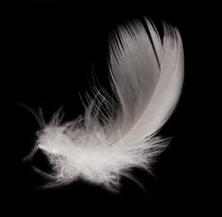 piuma bianca: piuma su sfondo nero Archivio Fotografico