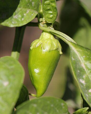 bush pepper: green pepper on the bush in nature Stock Photo