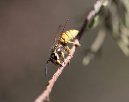 abdomen yellow jacket: wasp on a tree branch. macro Stock Photo