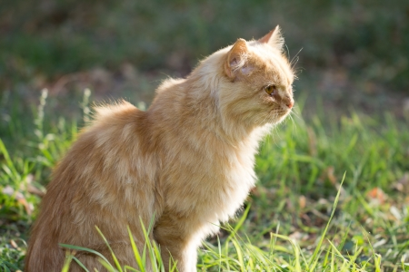 ginger cat in nature Stock Photo - 16280534