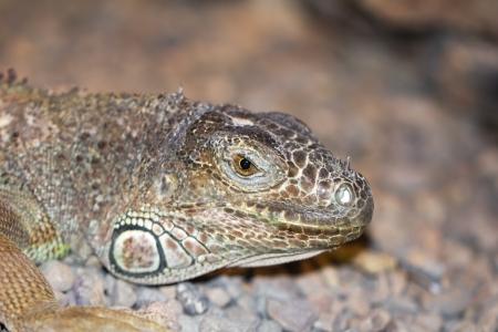 vivarium: Amazing Iguana specimen