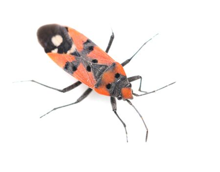Firebug, Pyrrhocoris apterus on white background photo