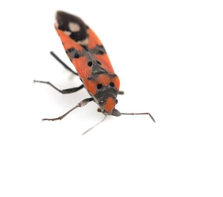 Firebug, Pyrrhocoris apterus on white background photo