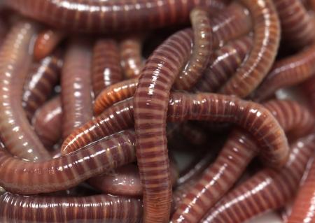 wigglers: earthworms. macro