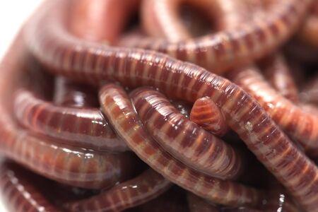 earthworms: earthworms. macro