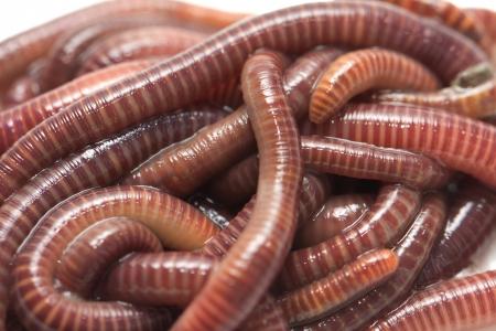 earthworms: las lombrices de tierra. macro Foto de archivo
