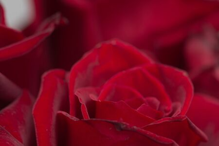 background of roses. macro photo