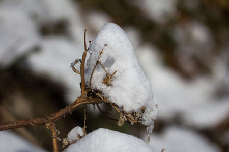 snow on tree branches. macro photo