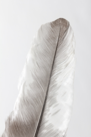 feather on a white background. macro photo