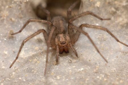 Funnel Web Weaver Grass Spider out on his funnel web photo