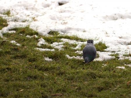 pigeon on nature Stock Photo - 17637653
