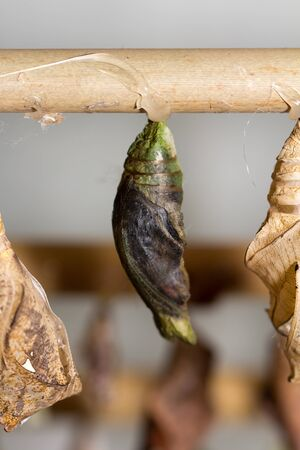 cocoons: butterfly cocoons