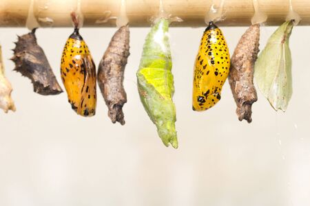 cocoon: composite of various views of a monarch emerging from a chrysalis. Stock Photo