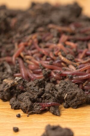 red worms in compost - bait for fishing Stock Photo - 18360042