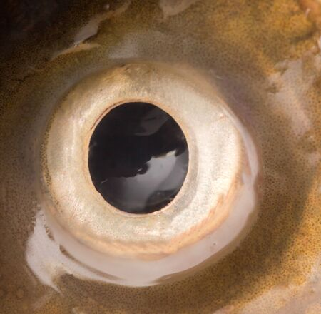 Eye carp. macro Stock Photo - 18360190
