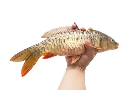 mirror carp on a white background Stock Photo - 18359945