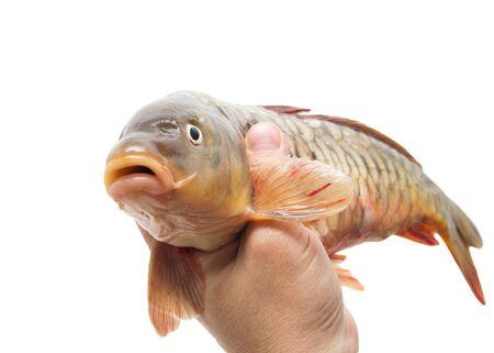 mirror carp: mirror carp on a white background