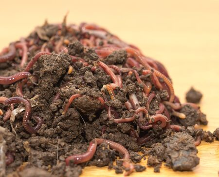 red worms in compost - bait for fishing Stock Photo - 18757212