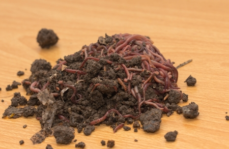 red worms in compost - bait for fishing photo