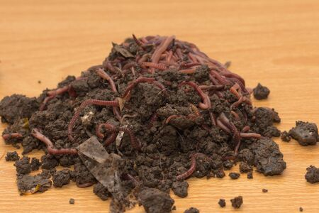 red worms in compost - bait for fishing Stock Photo - 18736713