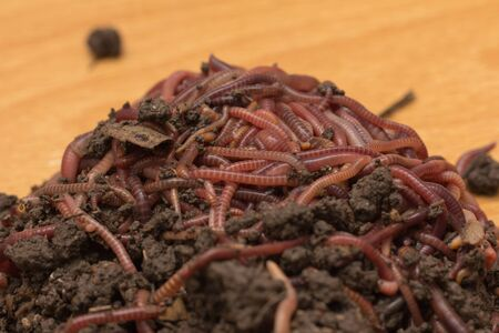 wiggler: red worms in compost - bait for fishing Stock Photo