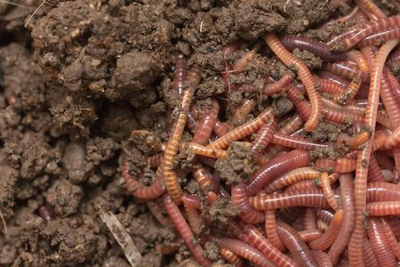 red worms in compost - bait for fishing Stock Photo - 18736581