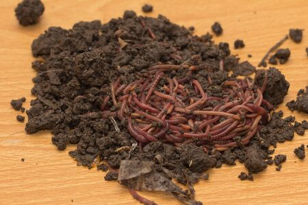red worms in compost - bait for fishing Stock Photo - 18736662