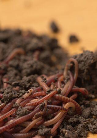 gusanos rojos en el compost - cebo para la pesca Foto de archivo - 18757421