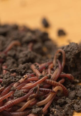 red worms in compost - bait for fishing Stock Photo - 18757421