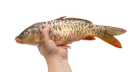 mirror carp on a white background photo