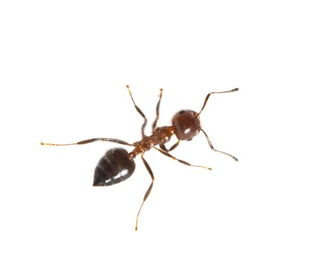 ant on a white background. macro Stock Photo - 18735933
