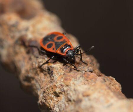 Fire Bug (Pyrrhocoris apterus) photo