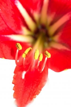 stami: stami gialli fiore rosso. macro Archivio Fotografico