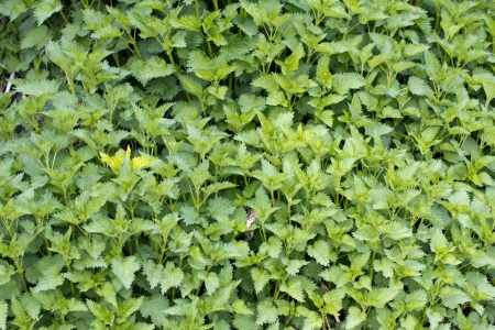 nettle background in nature Stock Photo - 19232107