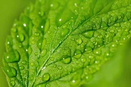 beautiful raspberry leaves in drops of water in nature photo