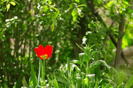 beautiful red tulip in nature photo