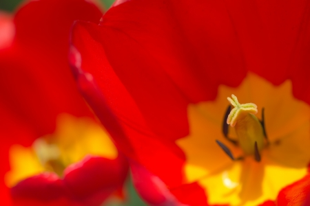 tulip in nature as the background Stock Photo - 19230543