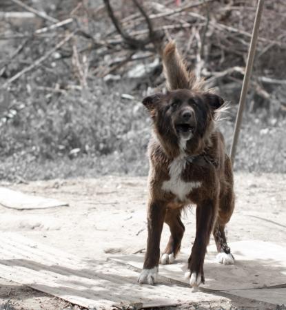 hydrophobia: angry black white dog
