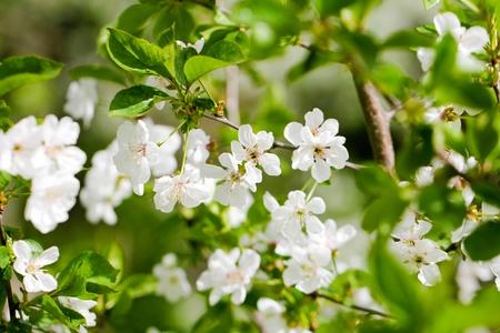 beautiful flowers on a fruit tree photo