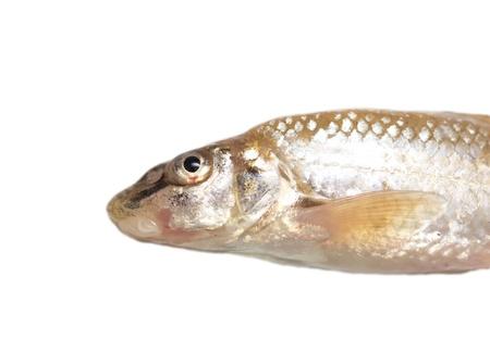 gudgeon: gudgeon fish on a white background Stock Photo