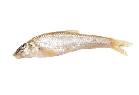gudgeon fish on a white background Stock Photo - 19393523