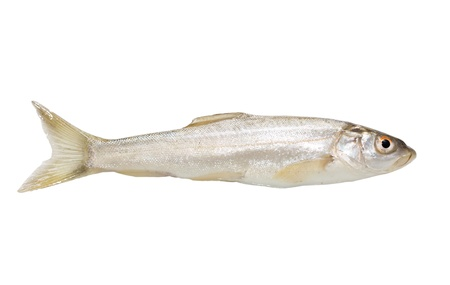 single fin: gudgeon fish on a white background Stock Photo