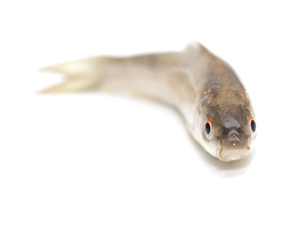 gudgeon fish on a white background Stock Photo - 19393525