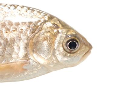 fish head on a white background. macro photo