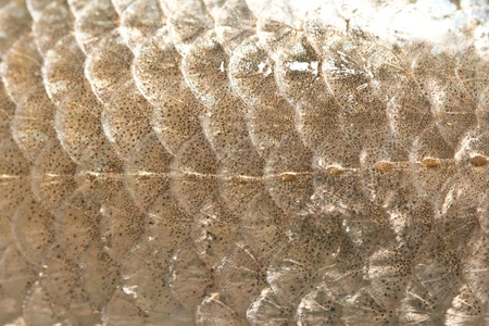 fish scales Stock Photo - 19395914