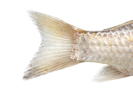 crown tail: fish tail on a white background. macro