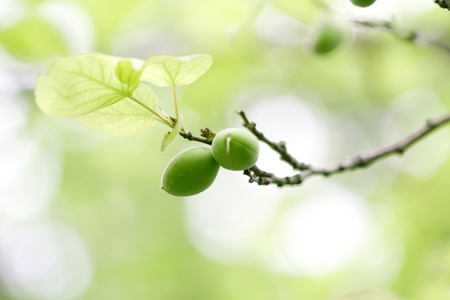 ume: green unripe apricots on a tree Stock Photo