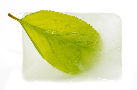 green leaf in ice on a white background photo